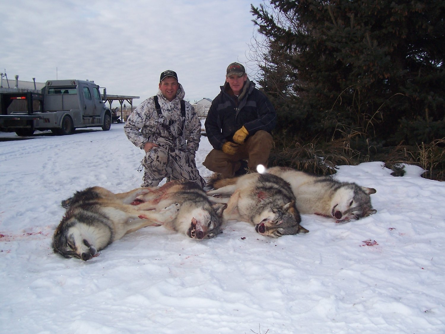 POLL: Should the slaughter of wolves in British Columbia be banned?