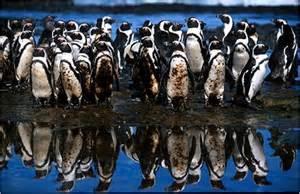Penguin Oil Spill courtesy of www.itopf.com