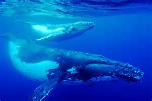 Humpback Whales courtesy of scubaworld.com.au